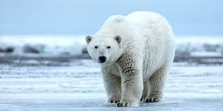 trump green lights arctic drilling project in polar bear habitat