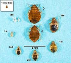 What Does Bed Bugs Look Like Bed Bugs Appearance And Life Cycle Bed Bugs Get Them Out And