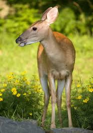 deer resistant plants keep deer out of your garden the old