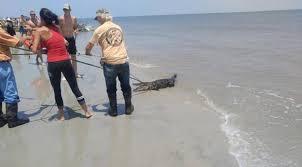 Georgia beaches images Georgia alligator captured near savanah beaches reopened ny jpg