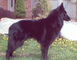 belgian shepherd national specialty bsca specialty results for 2001