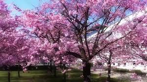 cherry blossom tree albero di ciliegio stunnering