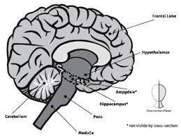 What Is The Main Function Of The Medulla Oblongata Background National Institute On Drug Abuse Nida