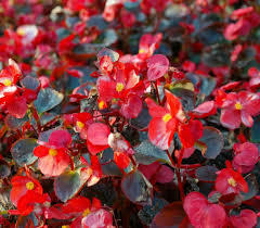 begonia flower growing begonias the showy houseplant with amazing flowers and