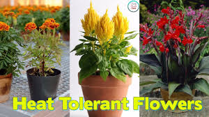 22 best flowers for full sun heat tolerant flowers for containers