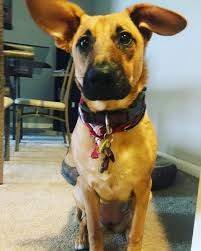 belgian malinois vermont is my dog a belgian malinois mixed with a ridgie
