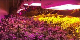 Best 25 Marijuana Grow Lights by Grow Better Cannabis With Led Lights