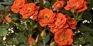 orange roses weeks roses orange roses