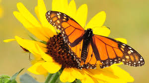 in pilsen monarch butterflies a source of joy and education