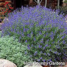 All Year Flowering Shrubs - best 25 spirea shrub ideas on pinterest shrubs flowering