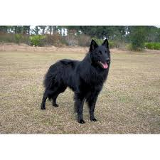 belgian sheepdog for sale in texas belgian sheepdog dog breeds dog com