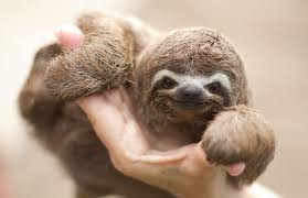 sloths as pets care and requirements