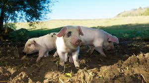 favorite southern pig names southern living