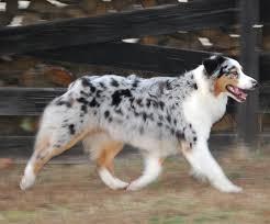 australian shepherd name origin blue merle australian shepherd australian shepards pinterest