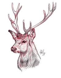 drawn antler red stag pencil and in color drawn antler red stag