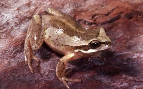 brown tree how does it take for tadpoles to become frogs quora