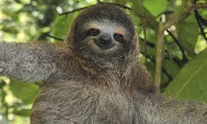 4 toed sloth why are sloths and other sloth facts stories wwf