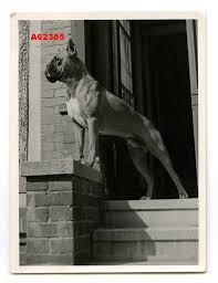 boxer dog umbrella the 208 best images about boxer on pinterest tony curtis