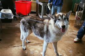 american eskimo dog in india native american indian dog