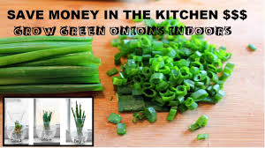 how to grow green onions indoors from water youtube