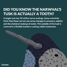 5 surprising narwhal facts for a chilly day oceana