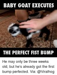 Baby Bump Meme - baby goat executes the perfect fist bump he may only be three