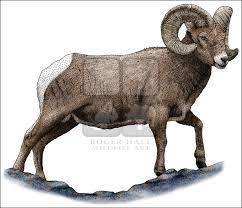 rocky mountain bighorn sheep ovis canadensis canadensis line art