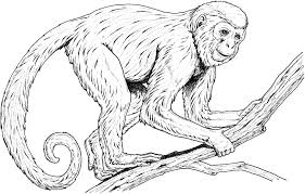 realistic monkey coloring pages coloringstar