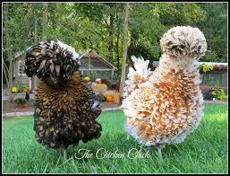 flock focus friday 9 26 14 hens chicken and chicken breeds