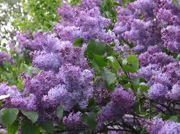 flieder balkon wildflieder gemeiner flieder syringa vulgaris garden hedge