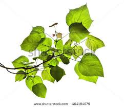 indian bean tree stock images royalty free images vectors