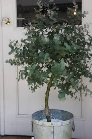 era nurseries buy trees online wholesale australian native grow eucalyptus outdoors plants and gardens