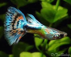 какие бывают рыбки гуппи фото рыбок гуппи самцы гуппи самки