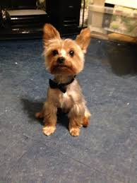 male yorkie haircuts 50 inspired short yorkie haircuts unique kitchen design