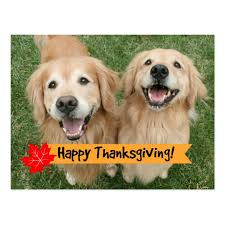 golden retriever thanksgiving day wishes postcard zazzle