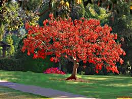 cockspur coral tree erythrina crista galli to mali