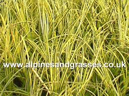 ornamental grasses catalogue uk