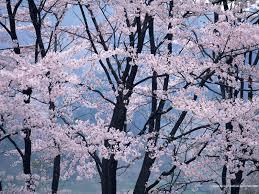 japanese cherry blossom bing images design pinterest
