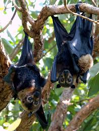 spectacled flying fox wikipedia