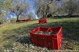 cassette per raccolta olive la raccolta delle olive in sabina foto gallery sabina dop