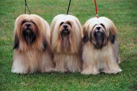 common health problems in young lhasa apso dogs pets