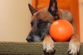belgian malinois insurance thumbs up petplan pet insurance examines dewclaws in pets fetch