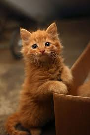 Pretty Orange Ginger Kitten Cute Animals Pinterest Ginger Kitten Cat And