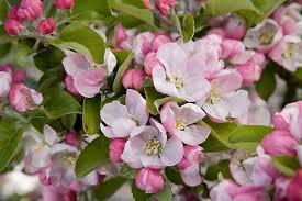 higgins fruit tree blossom