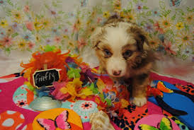 australian shepherd yahoo answers shamrock rose aussies exciting news 2 litters welcome to