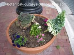 growing ornamental cabbage and flowering kale plants