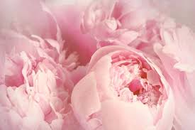 Meaning Of Pink Roses Flowers - pink flowers meaning flower meaning