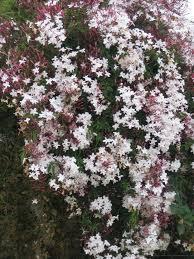 Fragrant Jasmine Plant - 12 best jasminum images on pinterest flowers beautiful and jasmine