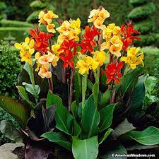 canna lilies canna mix canna indica american