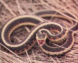Found A Snake In My Backyard How To Get Rid Of Snakes In The Yard